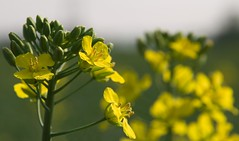 canola, flower, yellow, mustard plant, brassica rapa, plant, mustard, macro photography, wildflower, rue, produce, rapeseed,