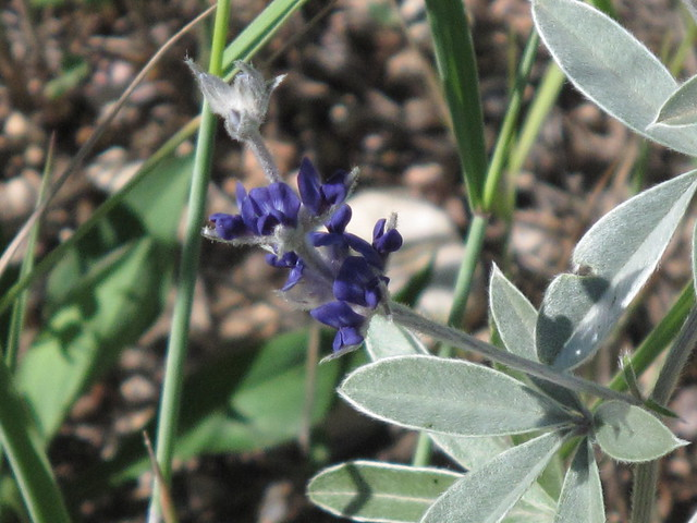 Silverleaf Scurfpea Correction Flickr Photo Sharing