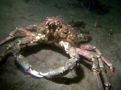 crab, animal, crustacean, marine biology, invertebrate, fauna,