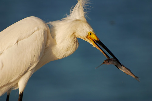 fish bird nature animal outside outdoors looking natural feeding eating wildlife watching beak feathers baitshop catcher staring egret bait avian snowyegret plumage ballyhoo wadingbird blurredbackground michaelskelton michaeldskelton michaeldskeltonphotography