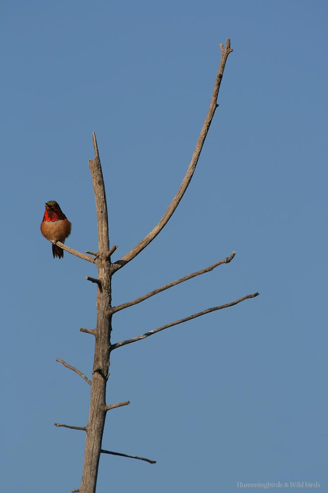 Allen's Hummingbird081-2
