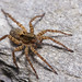 Wolf Spiders - Photo (c) Raphaël H., some rights reserved (CC BY-NC-ND)