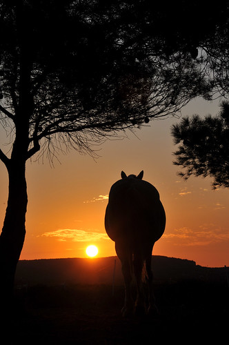 horse france nature animal cheval soleil pin noir paysage aude environs narbonne leverdesoleil bages mywinner diamondclassphotographer flickrdiamond theperfectphotographer