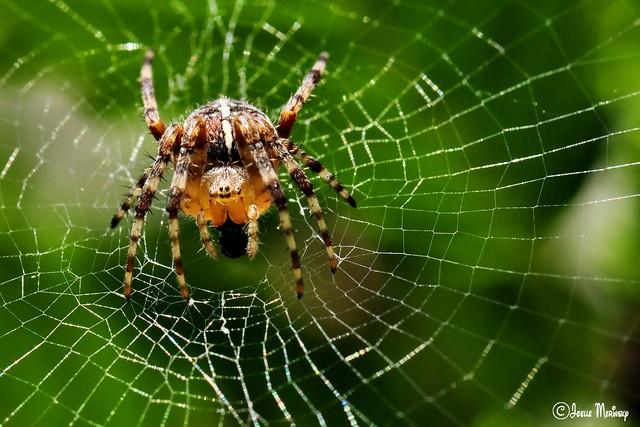 N Spiders European garden...