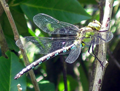 Dragonfly_right
