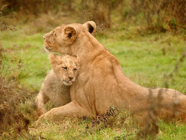 bébé lion de l'Angola et maman