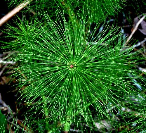 Snake grass pinwheel