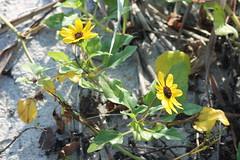 IMG_4004 Beach Sunflower - Helianthus debilis