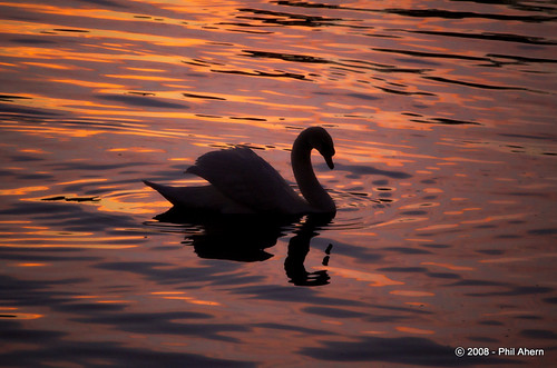 ireland sunset reflection swan warm wildlife shannon limerick munsterphotographycom