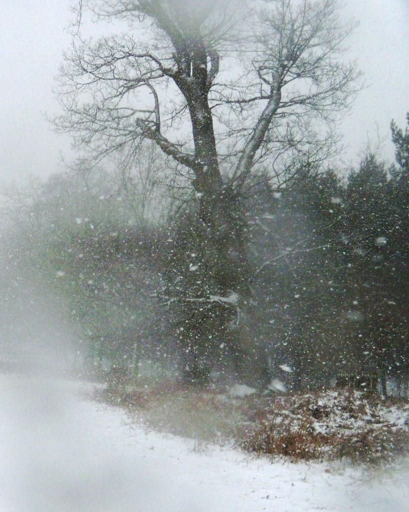 Knole Park - tree Leigh to Sevenoaks