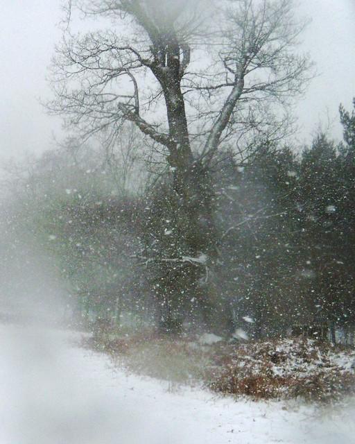 Knole Park - tree
