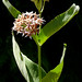 milkweeds - Photo (c) James Gaither, some rights reserved (CC BY-NC-ND)