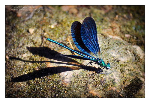 Dragonfly (Damselfly) in Rest