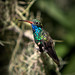 Broad-billed Hummingbird - Photo (c) Jim Frazee, some rights reserved (CC BY-NC-ND)