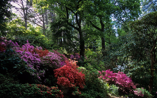 Bodnant Gardens, Conwy, Wales, UK | View through ancient forest with colorful Kurume azaleas (10 of 15) by ukgardenphotos