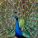 Peafowl Display by .M*A*K. (less busy)