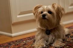 norfolk terrier(0.0), dandie dinmont terrier(0.0), cairn terrier(0.0), dog breed(1.0), animal(1.0), puppy(1.0), dog(1.0), schnoodle(1.0), pet(1.0), australian silky terrier(1.0), mammal(1.0), biewer terrier(1.0), havanese(1.0), lhasa apso(1.0), morkie(1.0), maltese(1.0), yorkshire terrier(1.0), terrier(1.0),