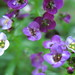 Small photo of Alyssum floating