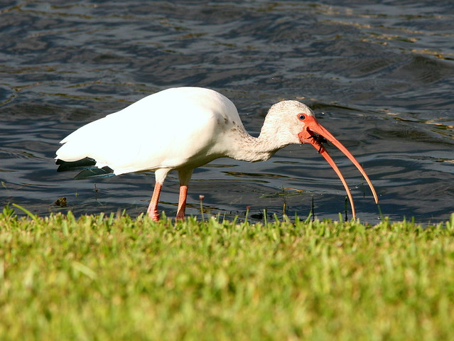 Ibis With Crayfish 20090906