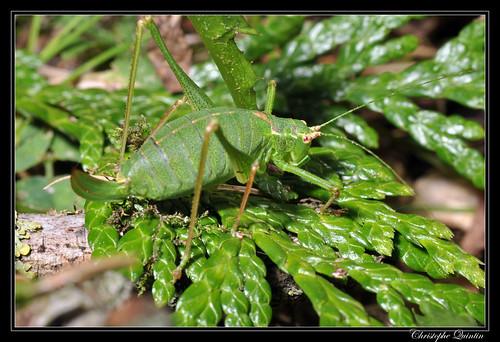 Sauterelle ponctuée (Leptophyes punctatissima)