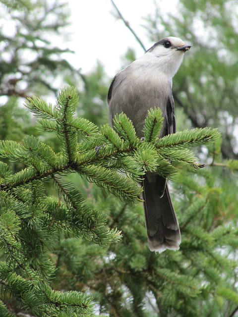 Curious Bird - An Algonquin Gray Jay!
