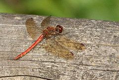 Common Darter, Martin Mere October 2009