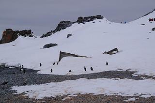 008 Wandeling Halfmoon Island - kinbandpinguins