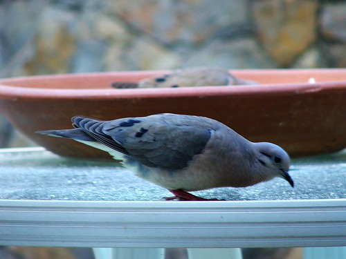 "Little ""Margosinha"" Pigeon"