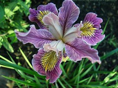 IRIS 'Banbury Melody'