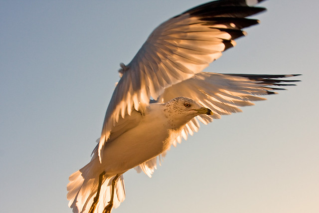 The Gull_0232.jpg