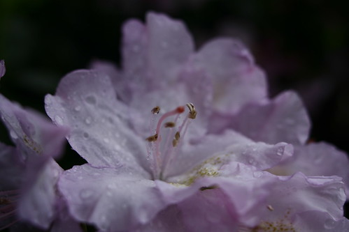 light-pink-azalea-flower
