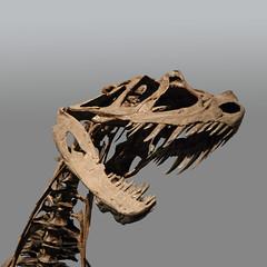 Squelette de Cératosaure (Kelvingrove, Glasgow)