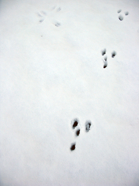 Picture of Rabbit Footprint http://www.flickr.com/photos/11833575@N05/3260823353/