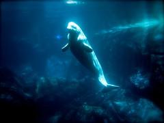 killer whale(0.0), humpback whale(0.0), animal(1.0), marine mammal(1.0), whale(1.0), marine biology(1.0), underwater(1.0), beluga whale(1.0),