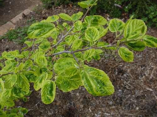 Hamamelis virginiana 'Green Thumb'