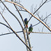 "Blue-headed Parrots ""Pionus menstruus"""