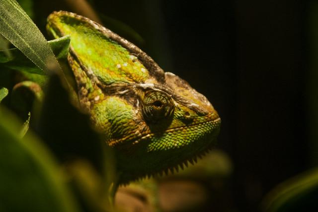 chemeleon head