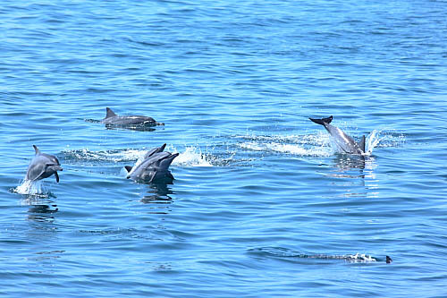 3W69-龜山島-長吻飛旋海豚