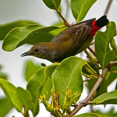 สีชมพูสวน Scarlet-backed Flowerpecker