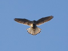 harrier(1.0), animal(1.0), hawk(1.0), bird of prey(1.0), falcon(1.0), wing(1.0), fauna(1.0), buzzard(1.0), accipitriformes(1.0), beak(1.0), bird(1.0), flight(1.0),