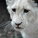White Lion Cub by Mad Meerkat