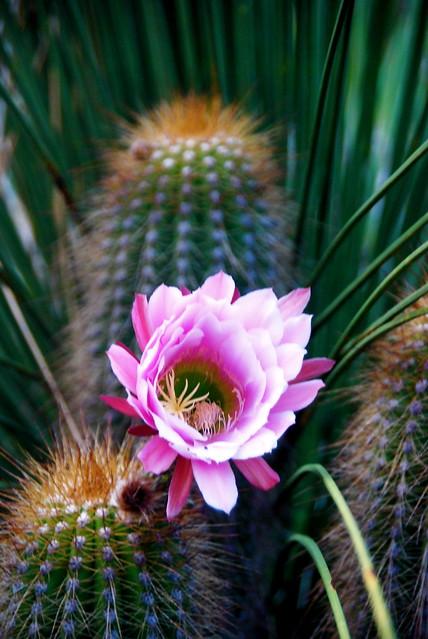 Echinopsis thelegona ~ Cactus Flower