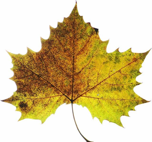 4053432198 5d13858e36 z jpgPlatanus Occidentalis Leaf