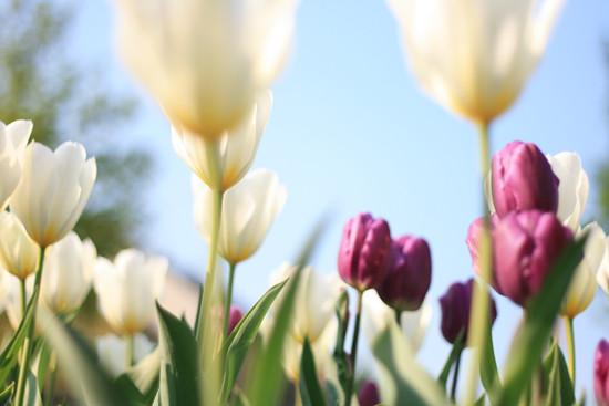 Tulpen, tulips