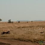 Cheetah on the Hunt - Serengeti, Tanzania