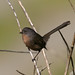 Wrentit - Photo (c) Blake Matheson, some rights reserved (CC BY-NC)