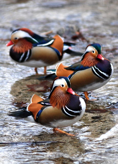 Mandarin ducks images