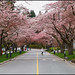 sakura tunnel at ubc