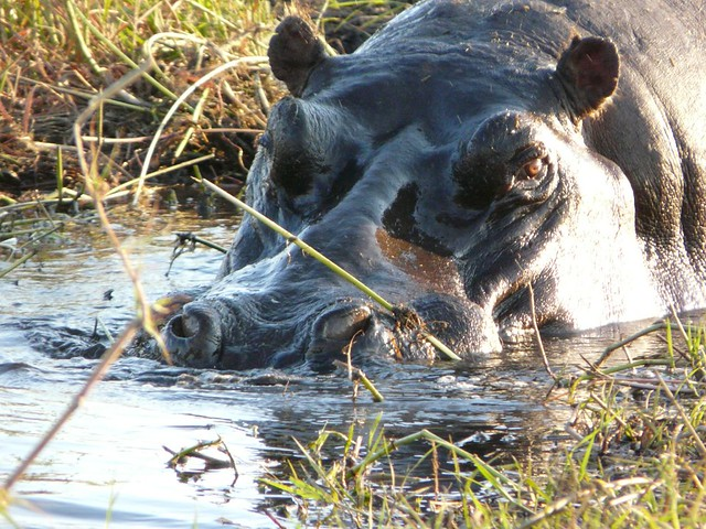 Hipopótamo en el río Chobe (Botswana)