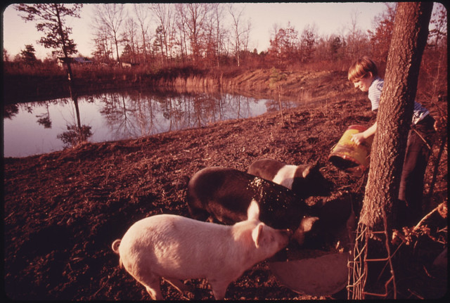 DOCUMERICA: Darrell Gipson, 13, Son of Mr. and Mrs. Wayne Gipson, Who Lives near Gruetli, Tennessee, near Chattanooga, Feeds Pigs after School. His Father Got Them and Other Livestock to Give the Boys a Sense of Responsibility. Mr. Gipson Was Born in Tennessee, But Moved North for a Job and Married There. Both Husband and Wife Had Fathers Who Were Miners and That Is the Job Wayne Returned To. The Family Prefers Life Here to the Northern Cities. December, 1974 by Jack Corn.